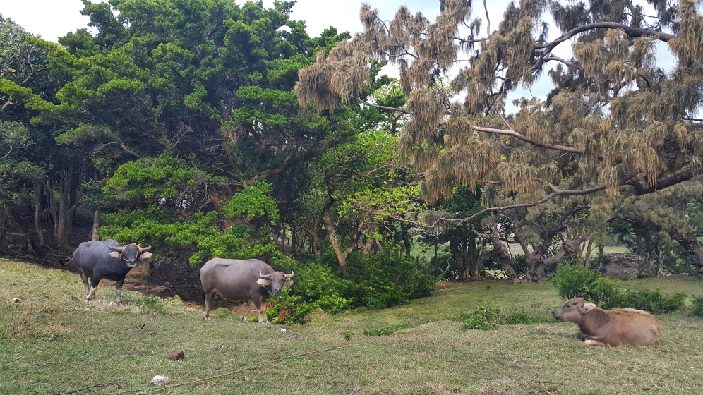 The carabaos of Nagudungan Hill. Aren't they beautiful? :)