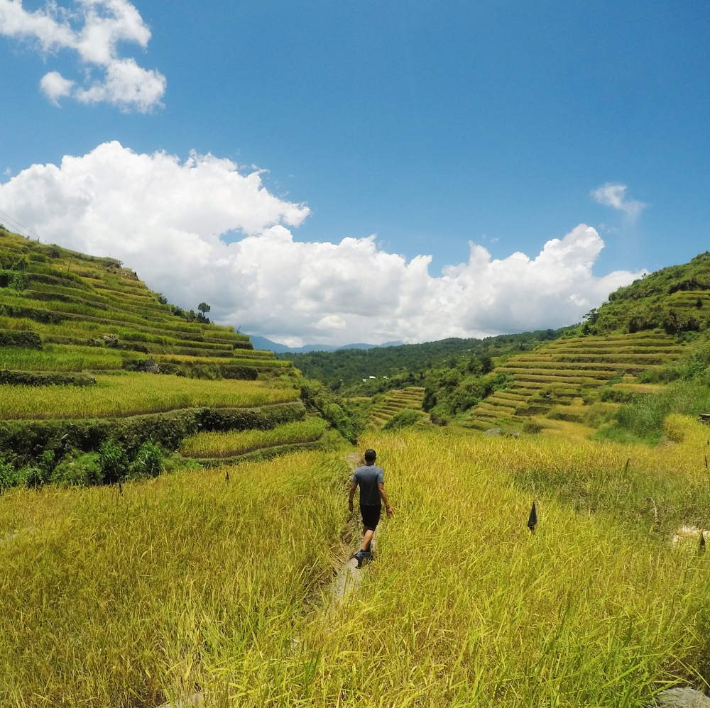 Walking in the golden rice terraces of Maligcong