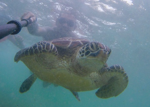 Swimming with the turtles. Here's a picture of my friend, Brye (IG: @bryehero), as he was swimming with a turtle in Apo Island.